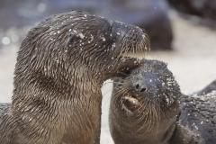 Zalophus wollebaeki :: Lleó marí de les Galápagos :: Galápagos Sea Lion :: San Cristóbal (CHATHAM) :: Galápagos 2017