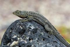 Microlophus albemarlensis :: Llangardaix de lava :: Lava Lizard :: Santa Cruz (INDEFATIGABLE) :: Galápagos 2017