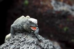 Amblyrhynchus cristatus :: Iguana marina :: Marine Iguana :: Santa Cruz (INDEFATIGABLE) :: Galápagos 2017