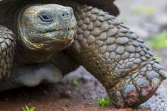 "Chelonoidis nigra :: Tortuga gegant de Santa Cruz :: Santa Cruz Giant Tortoise Santa Cruz :: Reserva ""El Chato"" :: Santa Cruz (INDEFATIGABLE) :: Galápagos 2017"