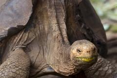 Chelonoidis hoodensis :: Tortuga gegant de Española :: Española Giant Tortoise Española :: Estación Científica Charles Darwin :: Santa Cruz (INDEFATIGABLE) :: Galápagos 2017