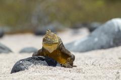 Conolophus subcristatus :: Iguana terrestre de Galápagos :: Galapagos Land Iguana :: North Seymour :: Galápagos 2017