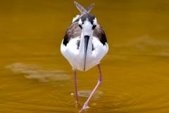 Himantopus mexicanus :: Camallarga americana :: Black-necked Stilt :: Isabela (ALBEMARLE) :: Galápagos 2017