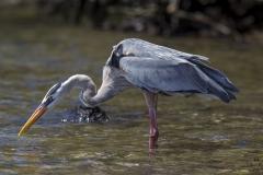 Ardea herodias :: Bernat americà :: Great Blue Heron :: Isabela (ALBEMARLE) :: Galápagos 2017