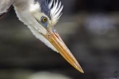 Ardea herodias :: Bernat americà :: Great Blue Heron :: Floreana (CHARLES) :: Galápagos 2017
