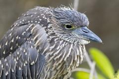 Butorides striata :: Martinet Estriat :: Striated Heron ::Santa Cruz (INDEFATIGABLE) :: Galápagos 2017
