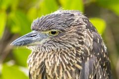 Butorides striata :: Martinet Estriat :: Striated Heron :: Santa Cruz (INDEFATIGABLE) :: Galápagos 2017