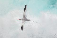 Phaethon aethereus :: Cua de jonc bec-roig :: Red-billed Tropicbird :: San Cristóbal (CHATHAM) :: Galápagos 2017