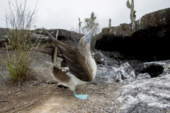 Sula nebouxii :: Mascarell cama-blau :: Blue-footed Booby :: Isabela (ALBEMARLE) :: Galápagos 2017