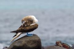 Sula nebouxii :: Mascarell cama-blau :: Blue-footed Booby :: Española (HOOD) :: Galápagos 2017