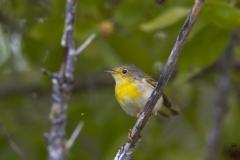 Dendroica petechia :: Bosquerola groga ::Yellow warbler finch :: Isabela (ALBEMARLE) :: Galápagos 2017