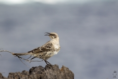Mimus parvulus :: Mim de Galápagos :: Galpagos Mockingbird :: Española (HOOD) :: Galápagos 2017