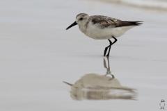 Calidris alba :: Territ :: Sanderling :: Santa Cruz (INDEFATIGABLE) :: Galápagos 2017