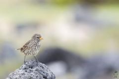 Geospiza fuliginosa :: Pinsà terrestre petit :: Small ground finch :: Santa Cruz (INDEFATIGABLE) :: Galápagos 2017