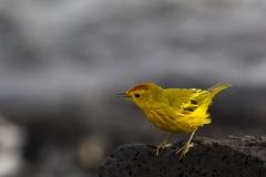 Dendroica petechia :: Bosquerola groga ::Yellow warbler finch :: Santa Cruz (INDEFATIGABLE) :: Galápagos 2017