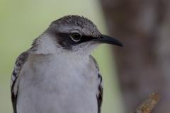 Mimus parvulus :: Mim de Galápagos :: Galpagos Mockingbird :: Santa Cruz (INDEFATIGABLE) :: Galápagos 2017