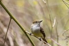 Certhidea fusca :: Pinsà de Darwin gris :: Grey warbler finch :: Santa Cruz (INDEFATIGABLE) :: Galápagos 2017