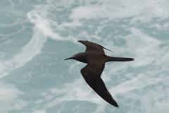 Oceanodroma melania :: Petrell Negre :: Black Storm-petrel :: San Cristóbal (CHATHAM) :: Galápagos 2017