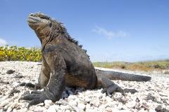Amblyrhynchus cristatus :: Iguana marina :: Marine Iguana :: Isabela (ALBEMARLE) :: Galápagos 2017