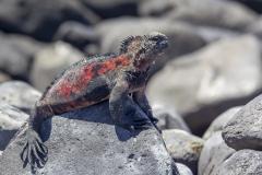 Amblyrhynchus cristatus :: Iguana marina :: Marine Iguana :: Española (HOOD) :: Galápagos 2017